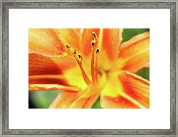 Flower Pollen Framed Print