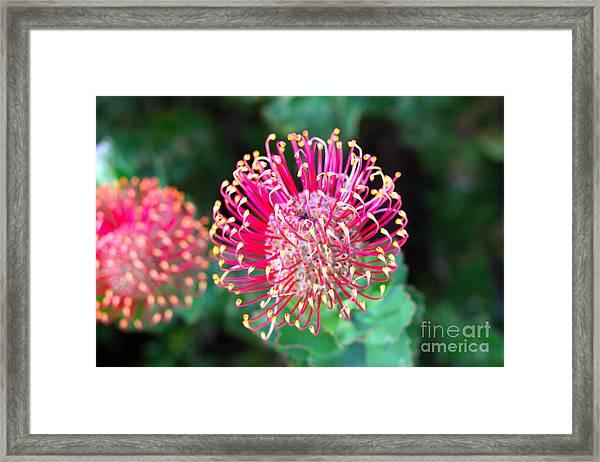 Flowerhead Of A Hakea - Australian Framed Print