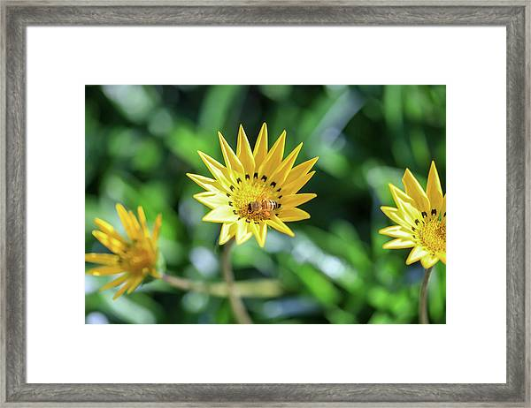 Yellow Flowers And A Bee Framed Print