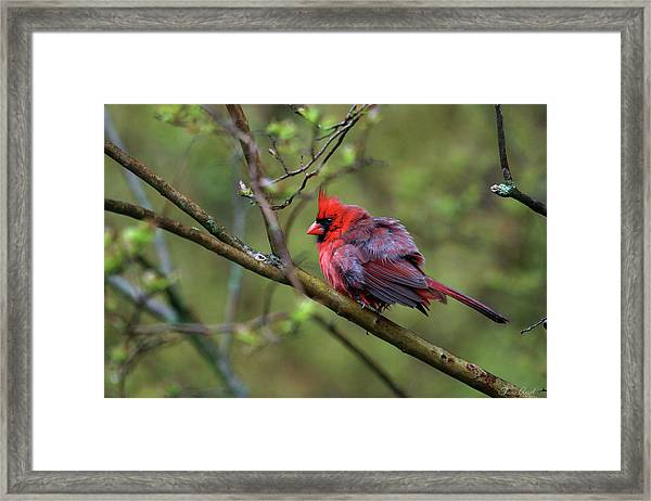 Fluffing Up My Feathers Framed Print