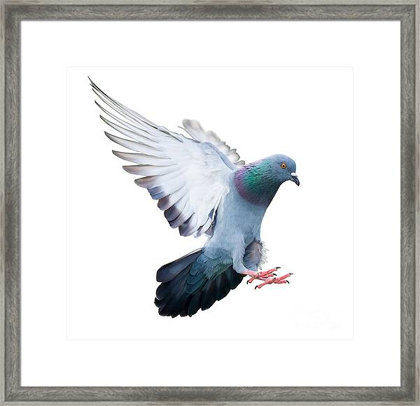 Flying Pigeon Bird In Action Isolated Framed Print