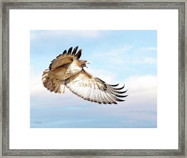 Flying Red-tailed Hawk Framed Print
