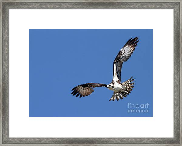 Focused Osprey Framed Print