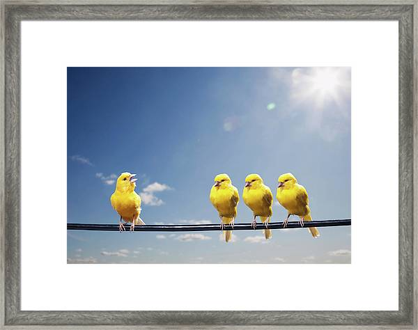 Four Canaries On Wire, One Bird Chirping Framed Print