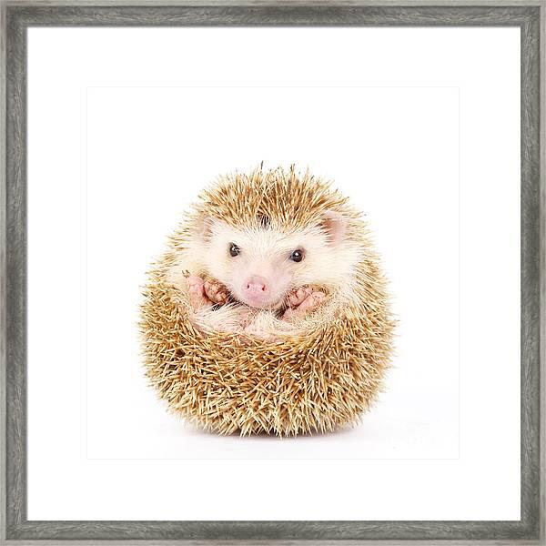 Four-toed Hedgehog, Atelerix Framed Print