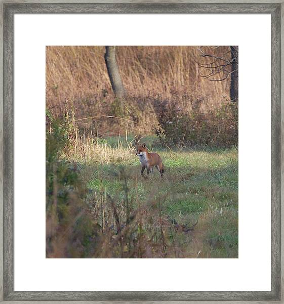 Fox On Prowl Framed Print