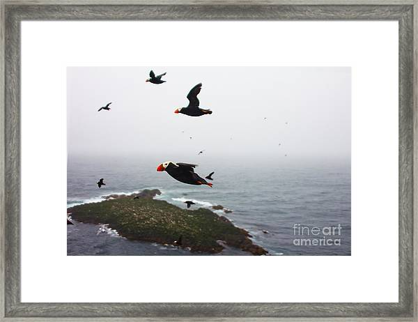 Fratercula Tufted Puffin, Fratercula Framed Print
