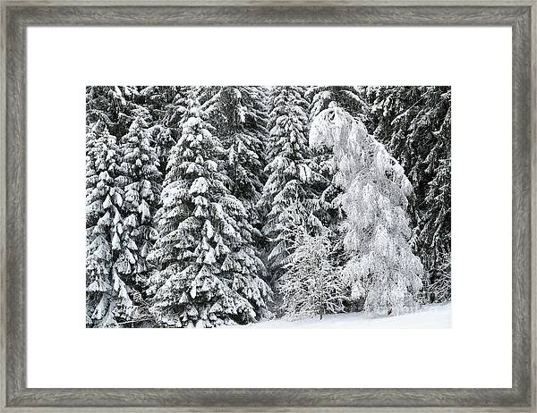 French Alps, Snow Covered Fir Trees In Winter Framed Print