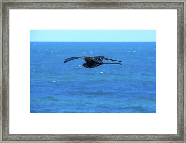 Frigatebird Framed Print