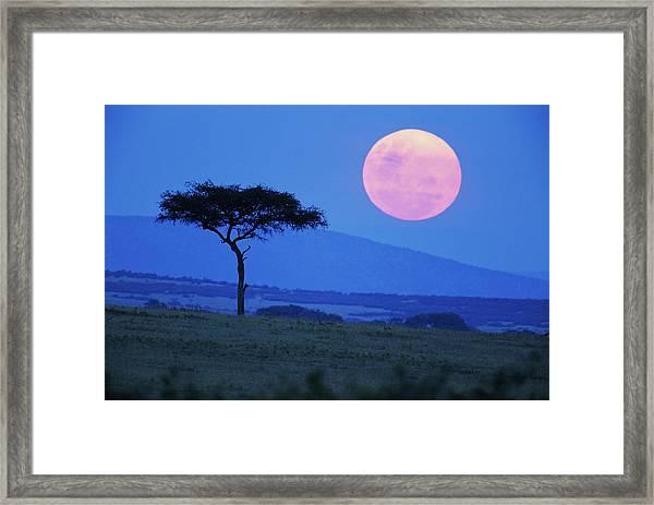 Full Moon Rising Above Tree, Savanna Framed Print by Paul Souders