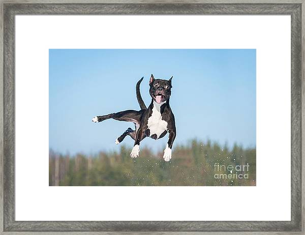 Funny American Staffordshire Terrier Framed Print