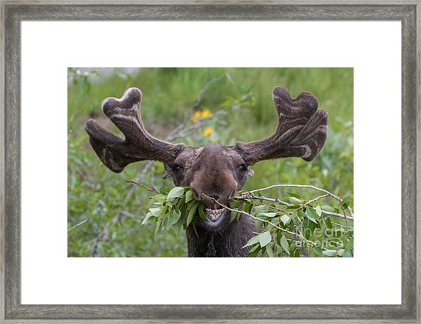 Funny Awkward Moose Eating Branches Framed Print