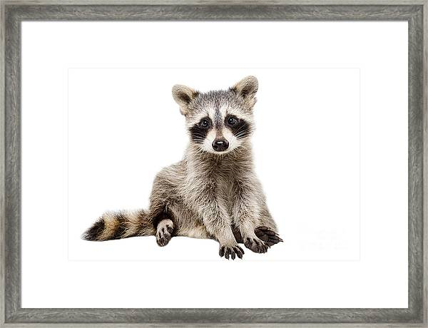 Funny Raccoon Sitting Isolated On White Framed Print