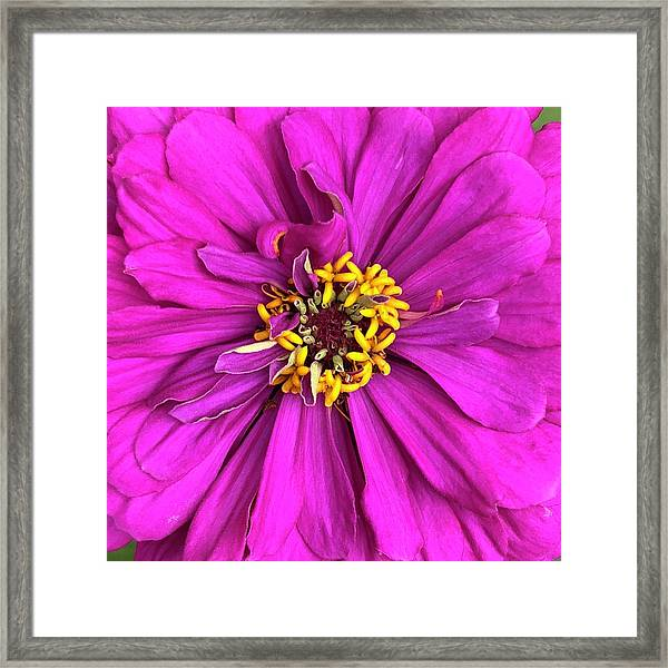 Fuschia Bloom Framed Print