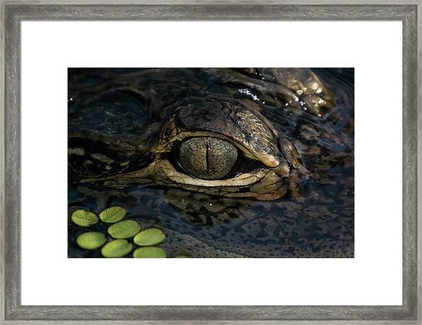 Gators Eye Framed Print