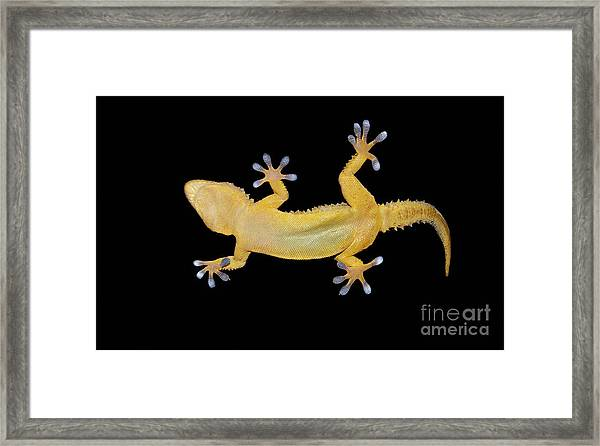 Gecko Lizard On Clear Glass Framed Print