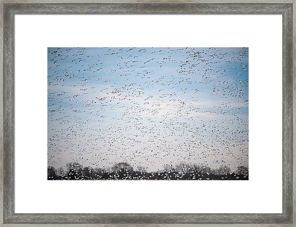 Geese In The Flyway Framed Print