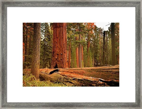 General Grant Grove Trees Framed Print