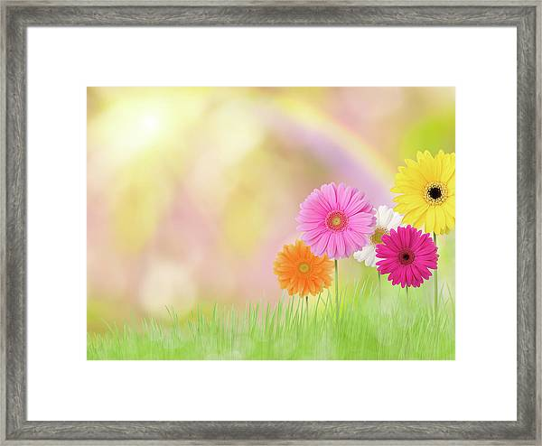 Gerbera Daisies In A Field With Rainbow Framed Print