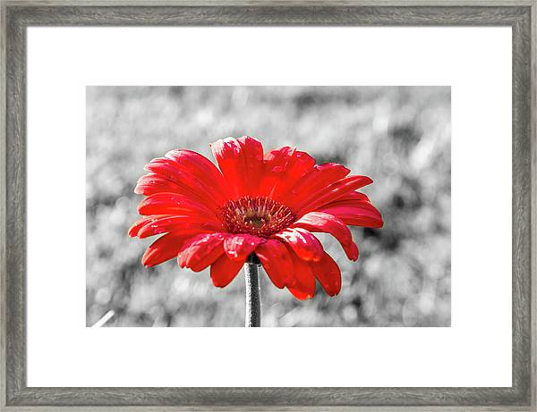 Framed Print featuring the photograph Gerbera Daisy Color Splash by Dawn Richards