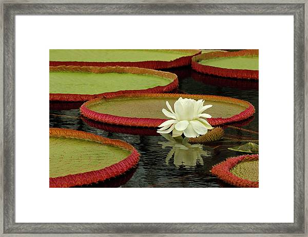 Giant Lily Pads And Waterlily In Bloom Framed Print
