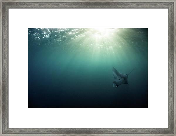 Giant Manta Ray Framed Print