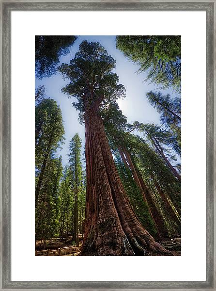 Giant Sequoia Tree Framed Print