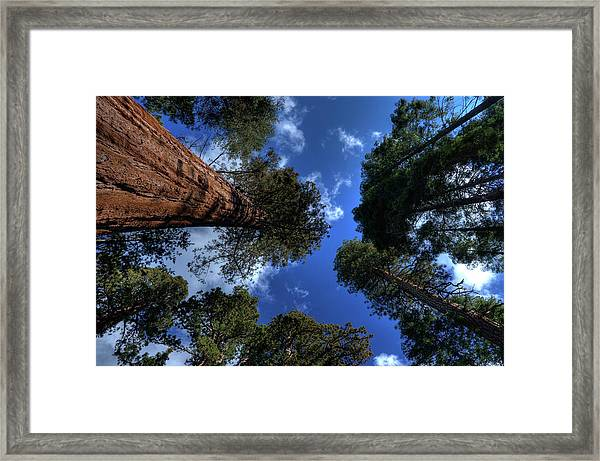 Giant Sequoias - 2 Framed Print