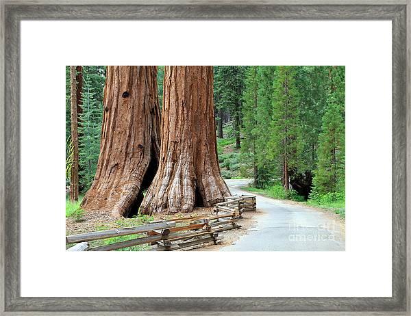 Giant Sequoias, Mariposa Grove Yosemite Framed Print