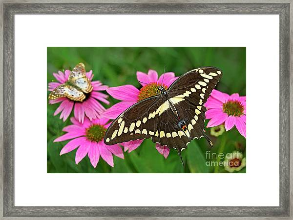 Giant Swallowtail Papilo Cresphontes Framed Print