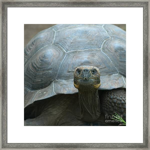 Giant Turtle, Galapagos Islands, Ecuador Framed Print
