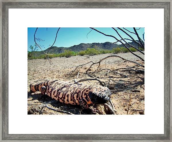 Gila Monster In The Arizona Sonoran Desert Framed Print