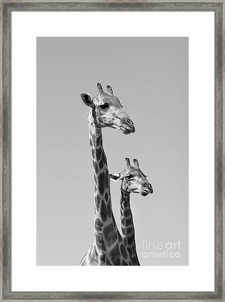Giraffe - African Wildlife Background - Framed Print by Stacey Ann Alberts