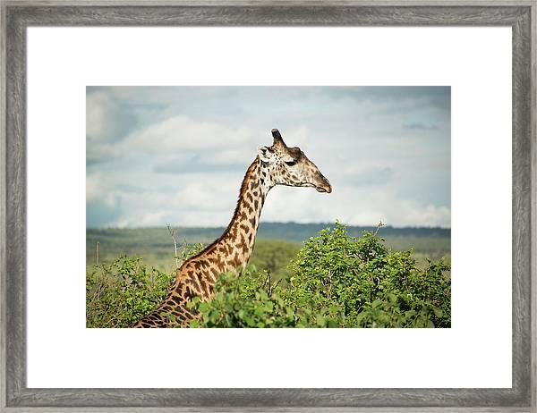 Giraffe At Tarangire Framed Print