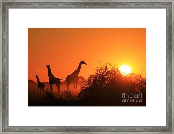 Giraffe Silhouette - African Wildlife Framed Print
