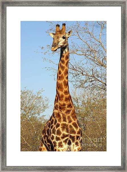 Giraffe Standing In The Trees Kruger Framed Print by Paul Banton