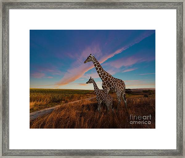 Giraffes And The Landscape Framed Print