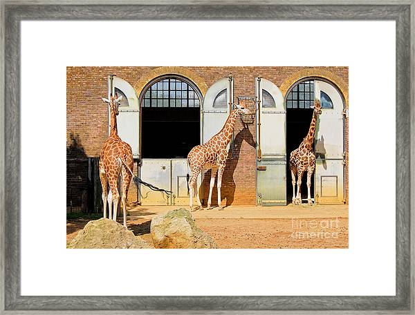 Giraffes At The London Zoo In Regent Framed Print