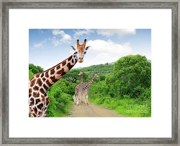 Giraffes In Kruger Park South Africa Framed Print