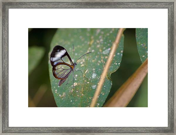 Glasswing Butterfly Jardin Botanico Del Quindio Calarca Colombia Framed Print