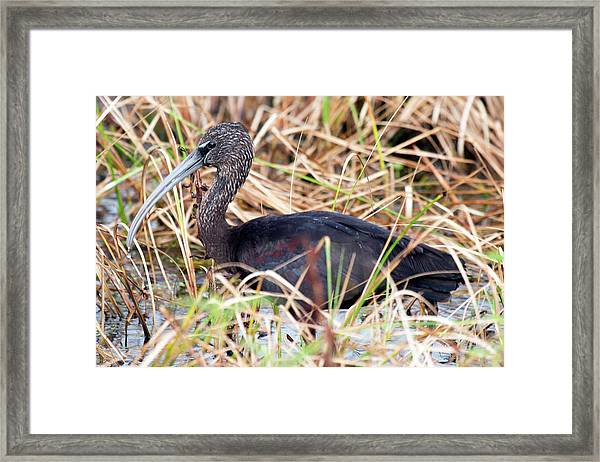 Glossy Ibis 123015 Framed Print