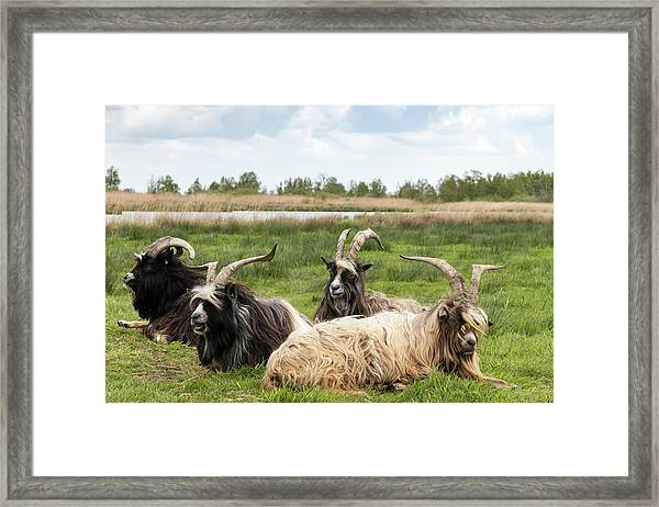 Framed Print featuring the photograph Goats  by Anjo Ten Kate