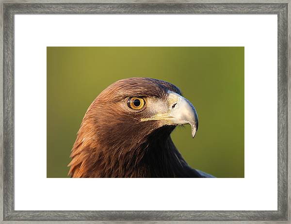 Golden Eagle 5151801 Framed Print