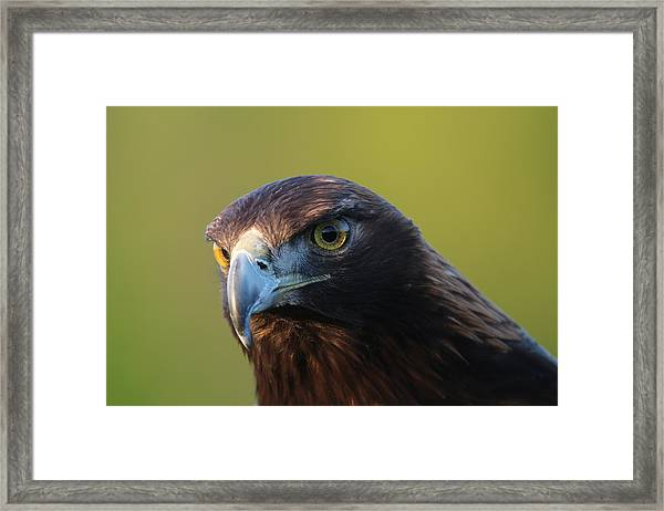 Golden Eagle 5151802 Framed Print