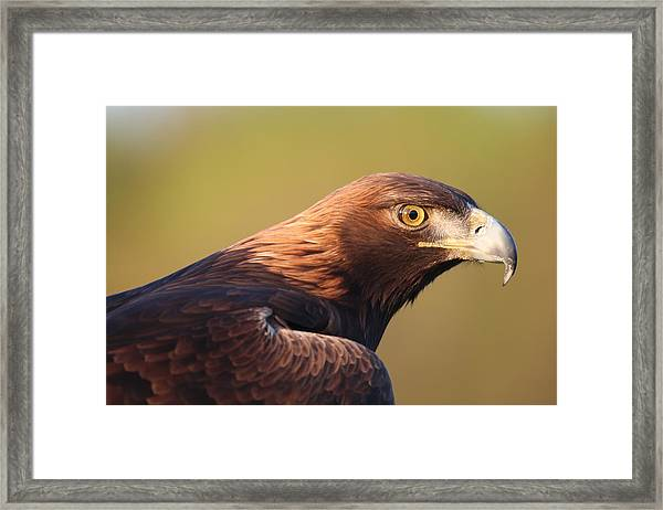 Golden Eagle 5151806 Framed Print