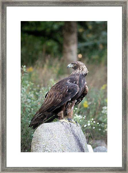 Golden Eagle On Rock 92515 Framed Print