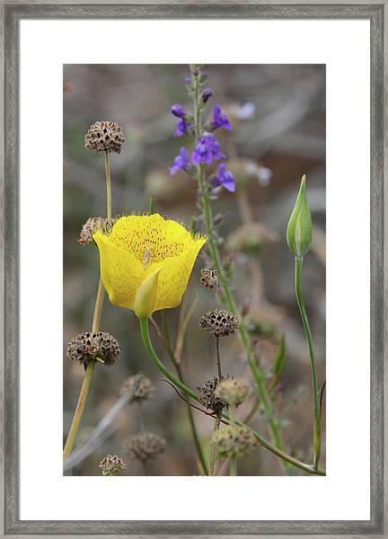 Golden Mariposa Lily  Framed Print by Robin Street-Morris