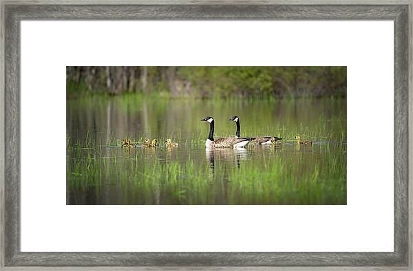 Goose Family #5 Framed Print