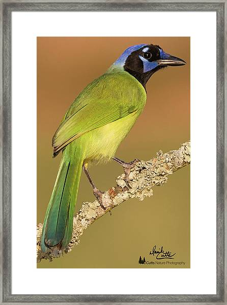 Gorgeous Green Jay Framed Print