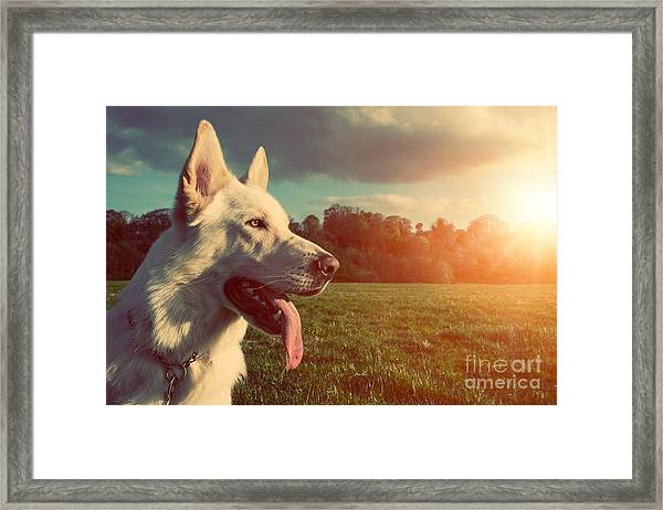 Gorgeous Large White Dog In A Park Framed Print
